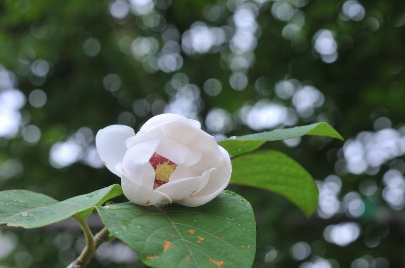 オオヤマレンゲの花です