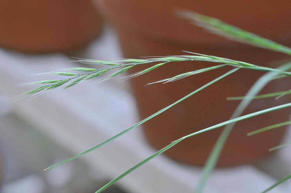 イネ科の植物です