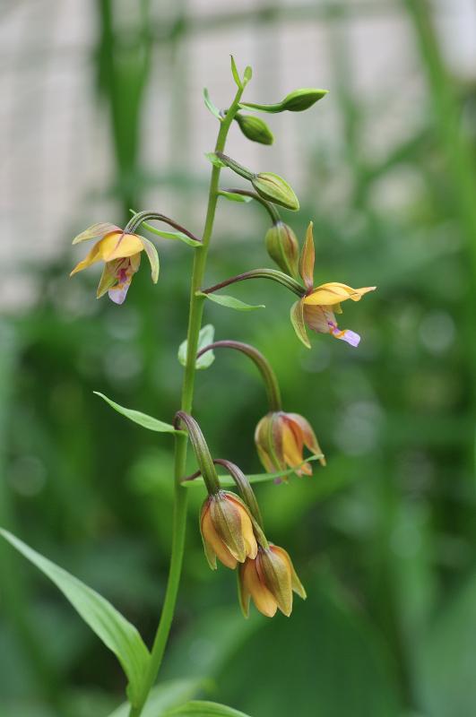 カキランの花です