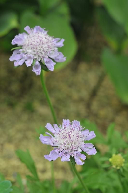 エゾマツムシソウの花です