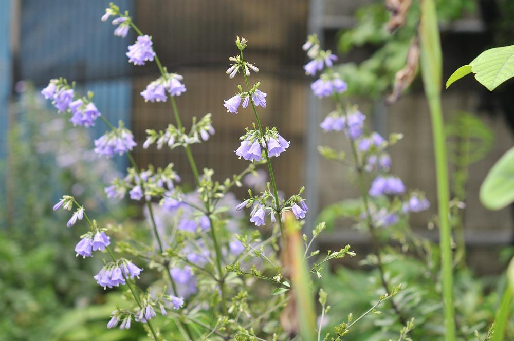 ハクサンシャジンの花です