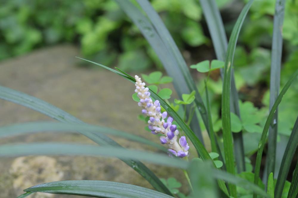 ヤブランの花です