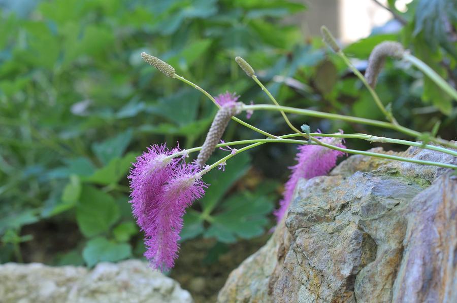 カライトソウの花です