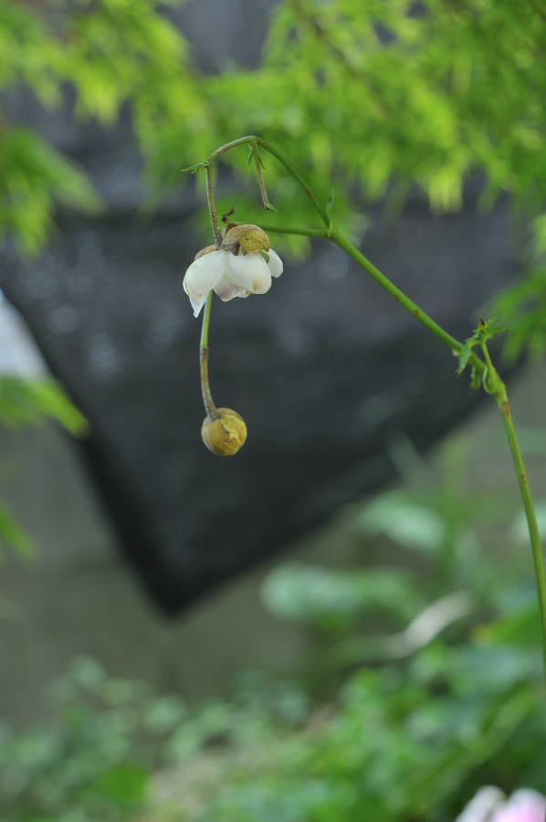 レンゲショウマの花です