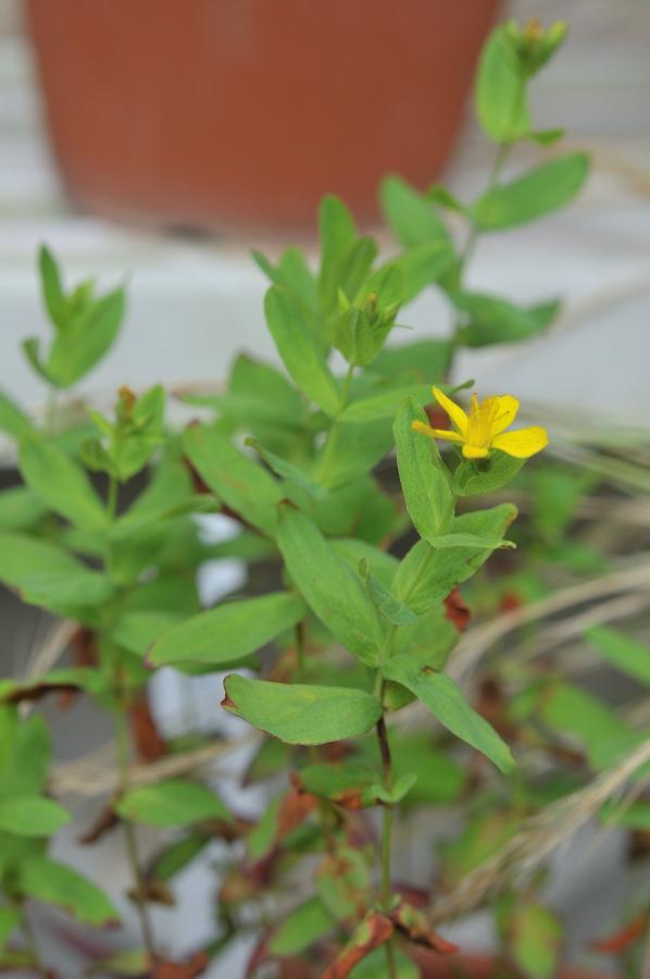 オトギリソウの花です