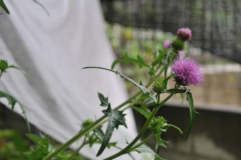 ノハラアザミの花です