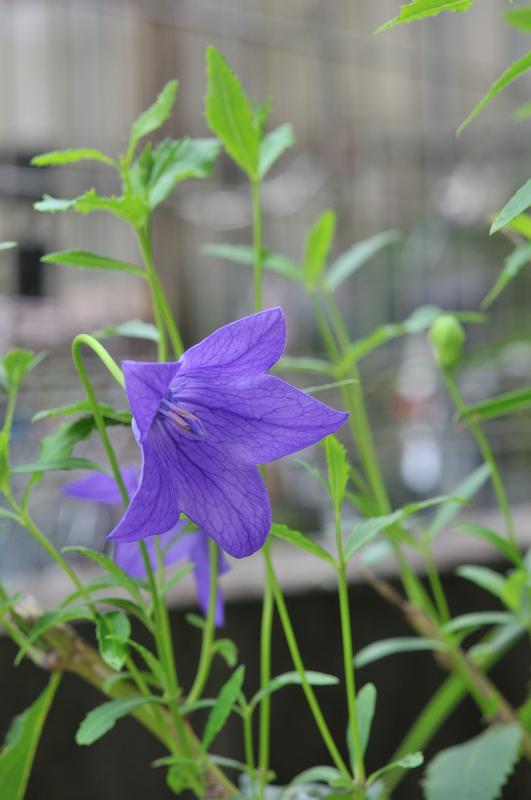 桔梗の花です