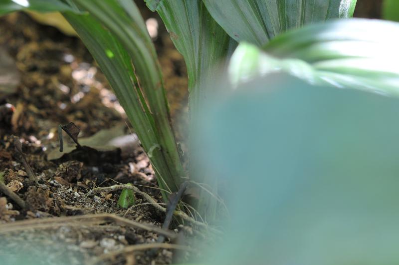 コオズエビネの新芽