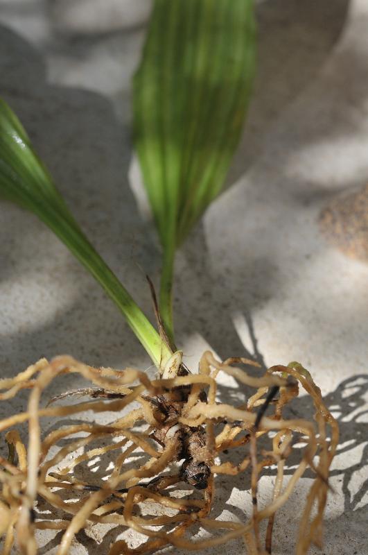 ニオイエビネの根です