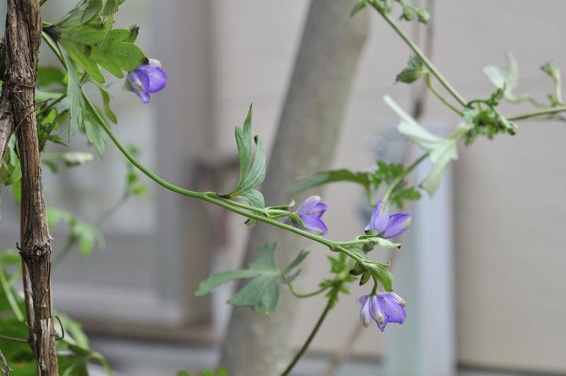 ハクサントリカブトの花です