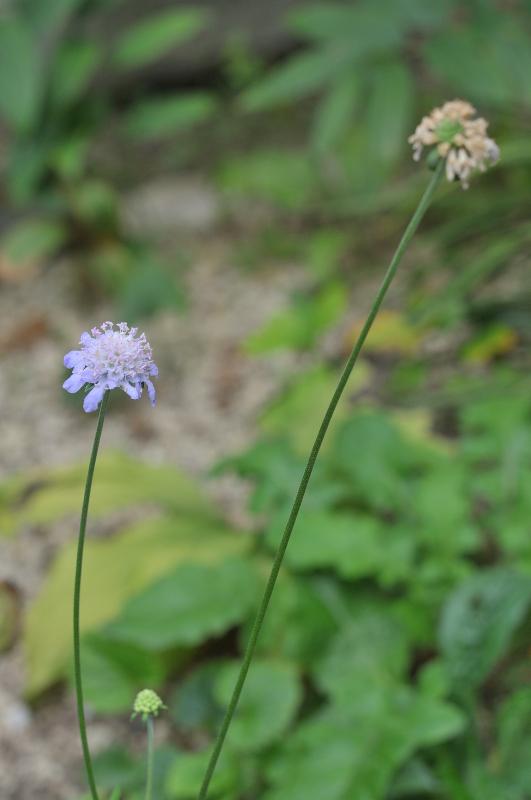 松虫草の花です