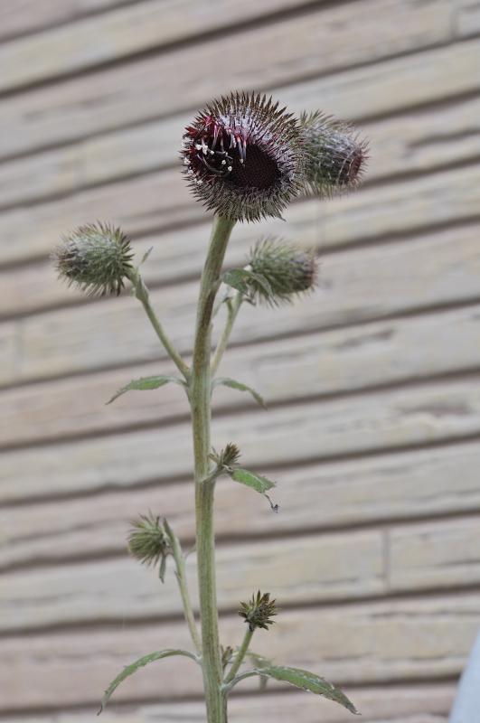 ハバヤマボクチの花です