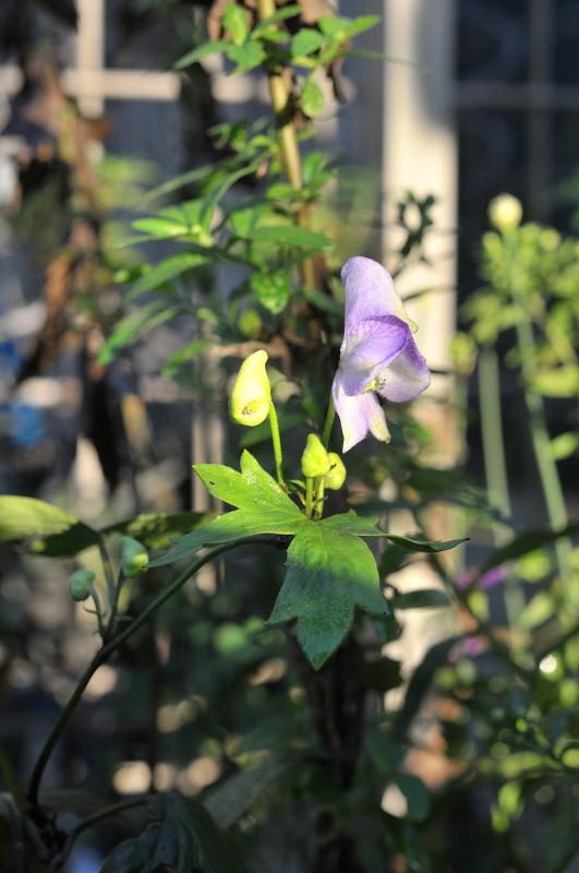 ダイセツトリカブトの花とつぼみです