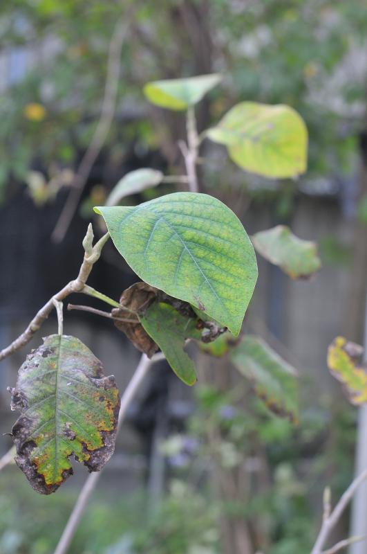 オオヤマレンゲの葉っぱです